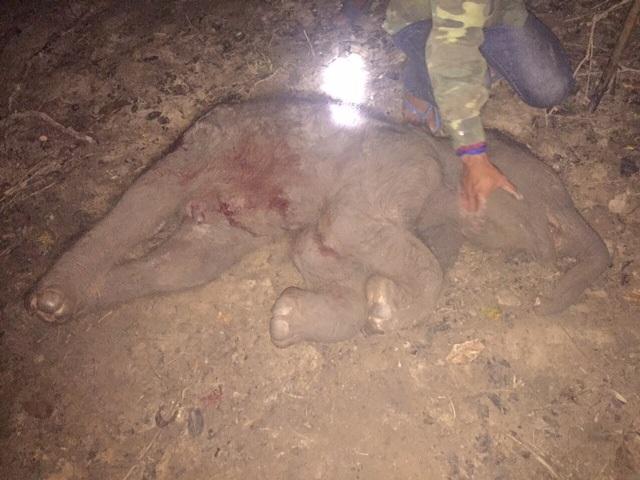 Chú voi con chết ngạt trong bụng mẹ trước khi kịp chào đời