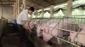 Nhiều trang trại qui mô lớn cũng như hộ dân chăn nuối nhỏ lẻ đang lao đao vì lợn rớt giá, không tiêu thụ được (ảnh minh họa)