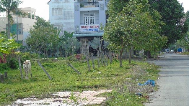 Trong khu dân cư nhưng một số hộ dân nuôi bỏ thả rong ngoài đường, phân nước tiểu vương vãi khắp nơi