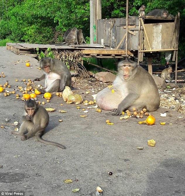 Sở thích của con khỉ này là ăn uống và ít vận động