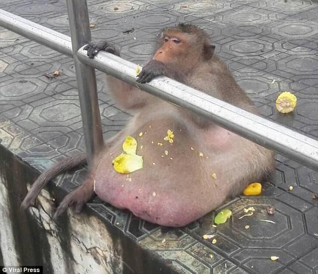Cận cảnh con khỉ bị mệnh danh là bác béo