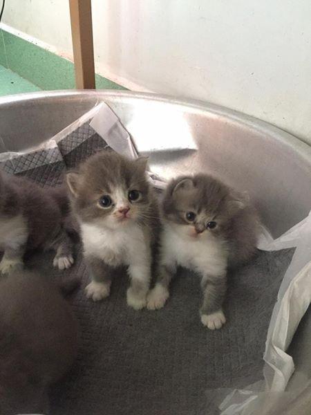 Chủ mèo bán với giá 5,5 triệu đồng một mèo con