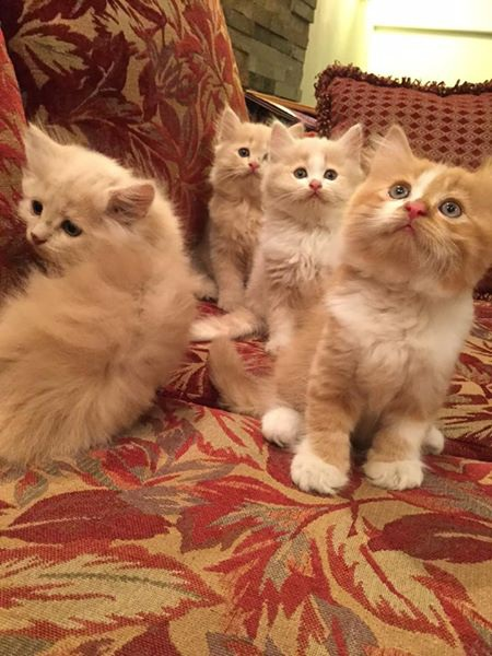 Mèo con nhưng đều có giá tiền triệu