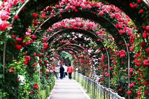 Đảo Thống Nhất trong công viên Thống Nhất tại Hà Nội trở thành thiên đường hoa hồng
