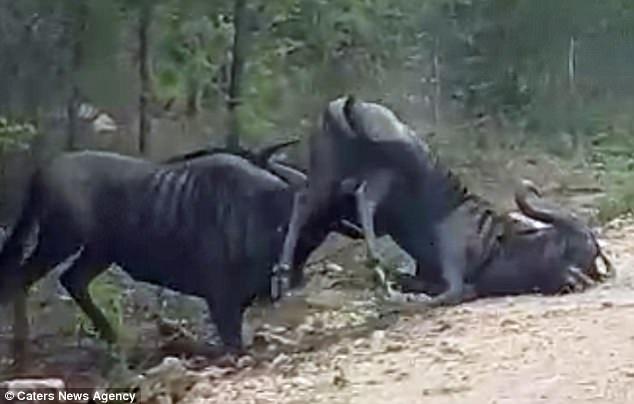Con linh dương đầu bỏ vẫn nằm yên giả chết dù cho đối thủ nâng cả một phần cơ thể của mình lên