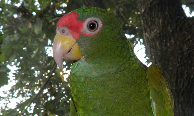 Loài vẹt mới được các nhà khoa học phát hiện. Ảnh: theguardian.com