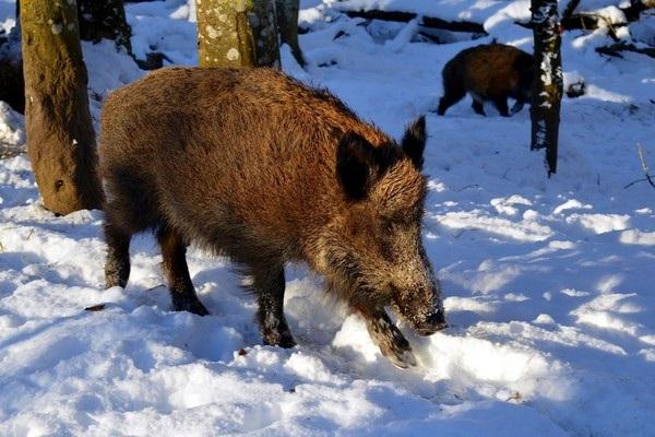 Những con lợn rừng bị nhiễm phóng xạ vẫn tồn tại sau 31 năm thảm họa Chernobyl xảy ra.
