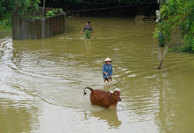 Người dân sơ tán gia súc lên đê Tả Lam tránh lũ