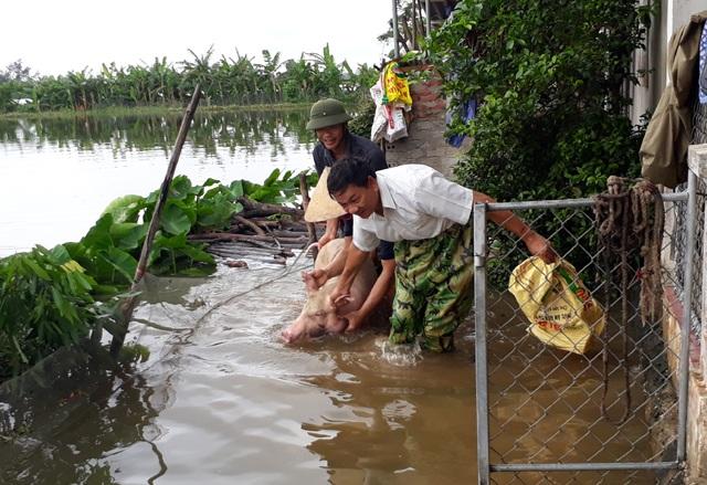 Gia đình ông Lượng đưa đàn lợn từ khu vực chuồng trại bị ngập nước lên chuồng tạm dựng trên đường ven đê Tả Lam