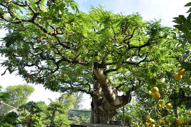 Cặp khế có giá 12 tỷ đồng, cụ me 3,5 tỷ, mai vàng 2,7 tỷ, lộc vừng 1,5 tỷ… Đó là những cây kiểng độc đáo hội ngộ tại chợ hoa Tết Đinh Dậu năm nay tại TP HCM. (Ảnh: Đình Thảo)