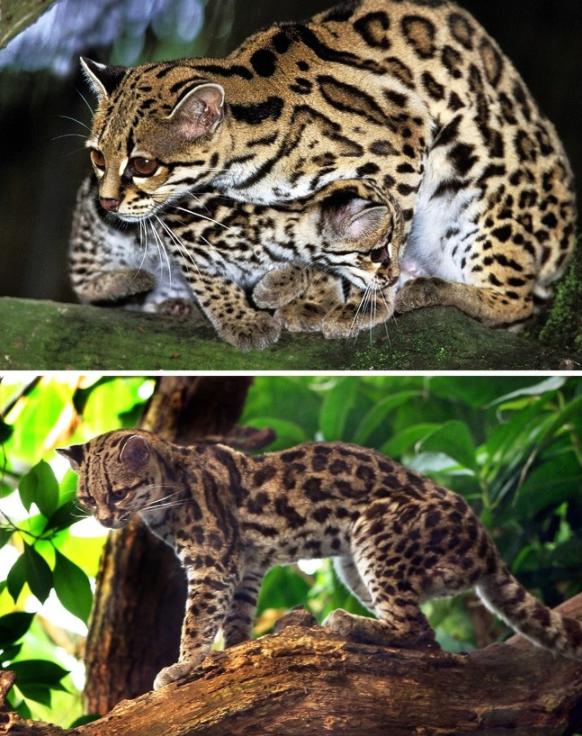 Những giống mèo siêu hiếm trên thế giới - 6
