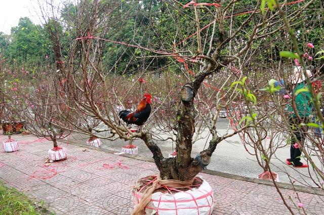 Để thu hút khách mua 2 cây đào phai chục năm tuổi của gia đình, một hộ dân ở Kim Sơn (Ninh Bình) đã tung chiêu khuyến mại mua đào được tặng thêm gà tre trống. Người bán đào cho biết tặng gà còn mang ý nghĩa giúp người mua gặp may mắn trong năm mới Đinh Dậu. (Ảnh: Thái Bá)