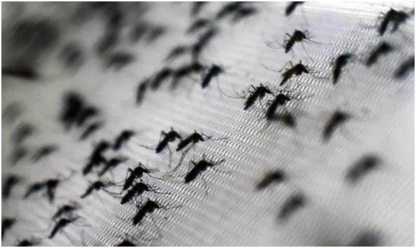 Kế hoạch này sẽ phát tán một triệu con muỗi mỗi tuần và kéo dài trong hơn 20 tuần.