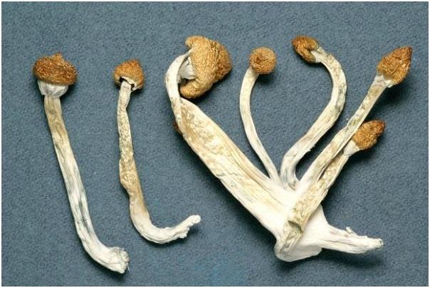 Tuy tiềm ẩn ít rủi ro hơn nhưng nấm ma thuật vẫn là một loài thực vật nguy hiểm khi sử dụng quá liều lượng.