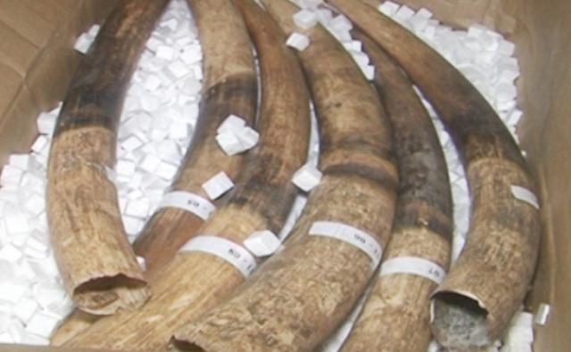 Số ngà voi bị Công an tỉnh Bạc Liêu bắt giữ. (Ảnh: Cổng thông tin Công an tỉnh Bạc Liêu)