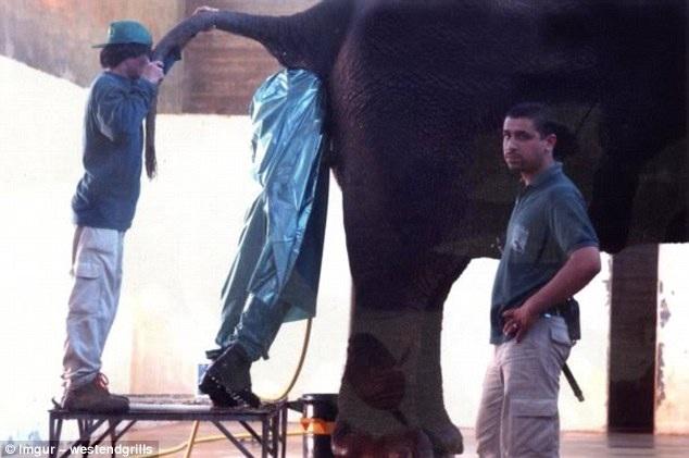 Không rõ chính xác công việc của người đàn ông này, nhưng anh ta đang kiểm tra phần mông của con voi.