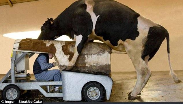 Giao phối là việc hoàn toàn phổ biến trong các nông trại. Nhưng ít khi người ta được chứng kiến cảnh người công nhân vận hành một con bò máy để bò đực giao phối.
