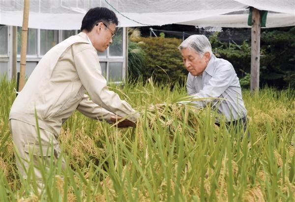 Nhà vua thu hoạch lúa trong cánh đồng của Hoàng cung (Ảnh: Sankei)