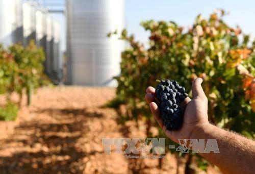 Thu hoạch nho để làm rượu tại Tây Ban Nha ngày 13/11. Ảnh: THX/TTXVN.