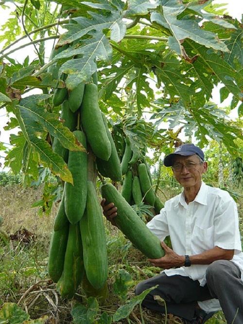 Hiện nay lão nông Nguyễn Hoàng Oanh sở hữa hàng chục giống trái cây và nông sãn khổng lồ, nhưng đu đủ là giống ông lựa chọn trồng nhiều nhất trong vườn nhà vì hiệu quả kinh tế cao
