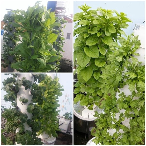 Theo đó, vườn rau của anh Sơn có diện tích khoảng 10m2 được anh trồng theo phương pháp khí canh trụ đứng trên sân thượng tầng 3. Đây là phương pháp mới của Nasa (Mỹ) và được anh điều chỉnh lại cho phù hợp với điệu kiện nhà ống và diện tích sân thượng của gia đình.