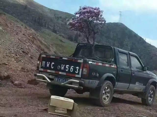 Bất chấp lời cảnh báo đỗ quyên chỉ sống ở vùng núi cao, nhiều du khách vẫn đánh cả xe ô tô lên để nhổ cây mang về trồng