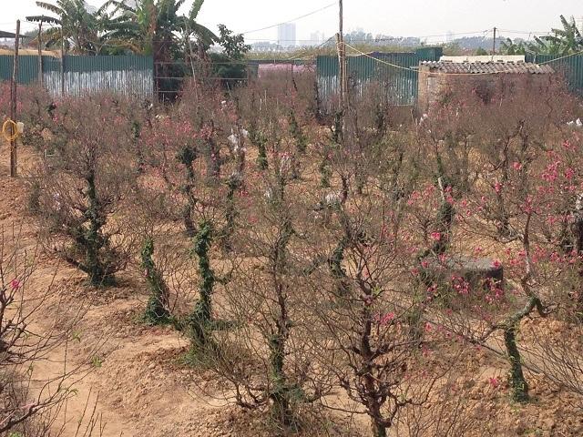 Vườn đào của ông Tân hơn 100 cây đã ra hoa tới hơn nửa.