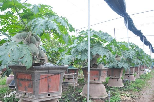 Vườn đu đủ bonsai hơn 30 chậu của ông Thanh đều đã có khách đặt hàng, mỗi cây có giá từ 1 triệu đến 4,5 triệu đồng.