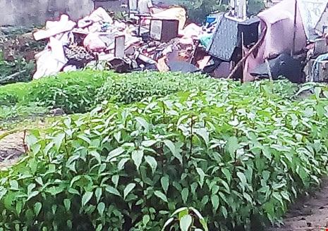 Rau đay trồng cạnh bãi rác bị nhiễm vi khuẩn gây hại vượt mức. Ảnh: TRẦN NGỌC