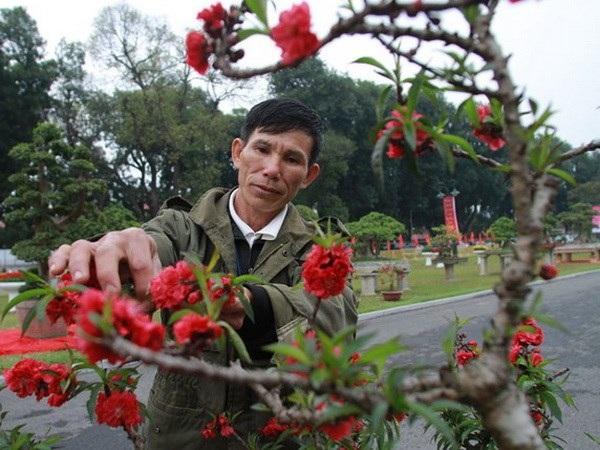 Chủ gốc đào ở Nhật Tân, quận Tây Hồ, Hà Nội