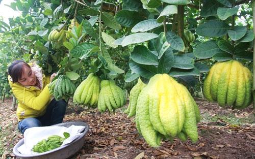 Mô hình trồng phật thủ tại xã Đắc Sở (huyện Hoài Đức). Ảnh: Bá Hoạt