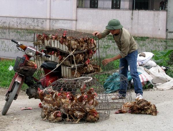 Gà thải loại Trung Quốc vẫn được nhập về Việt Nam với số lượng cả 100 ngàn tấn mỗi năm
