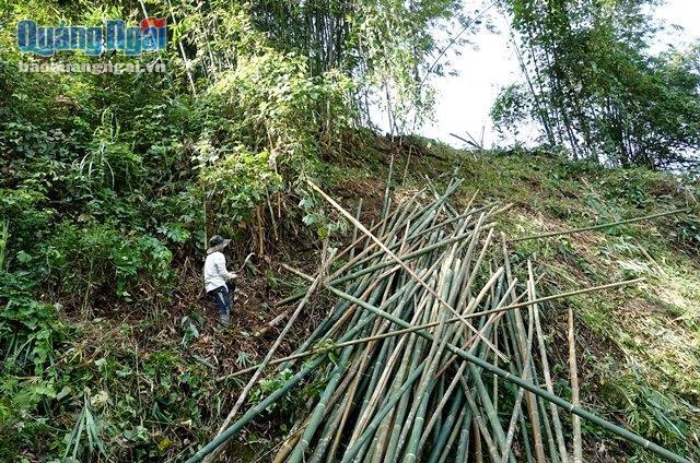 Tranh thủ thời tiết thuận lợi, người dân lên rừng khai thác lồ ô.
