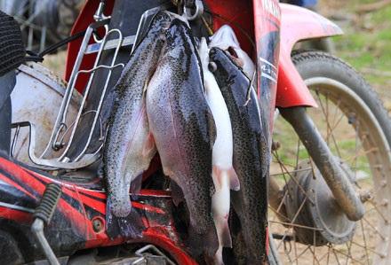 Cá nuôi khoảng 1kg là có thể bán, khi có khách mua cá sẽ được vớt ngay tại bể luôn đảm bảo độ tươi ngon.