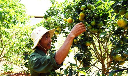 Ông Dậu đi tiên phong trồng cam canh ở xã Đông Thanh.