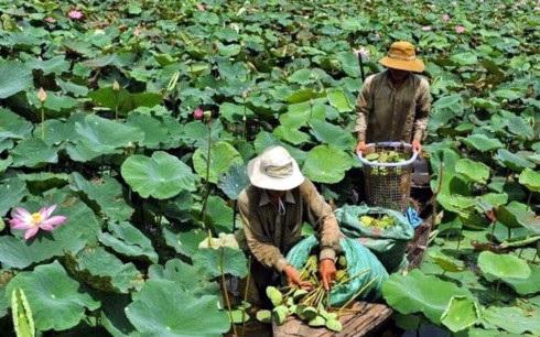 Người dân vùng Đồng Tháp Mười thu hoạch các sản phẩm từ cây sen.(Ảnh: VNP)
