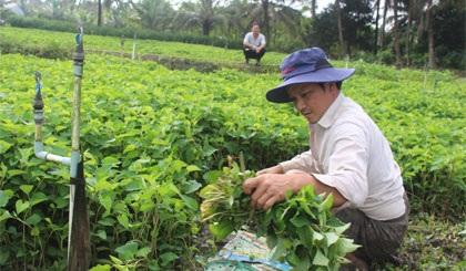 Hàng trăm hộ dân xã Nhị Bình, huyện Châu Thành, tỉnh Tiền Giang hiện đang rất mừng vì rau diếp cá có giá bán cao, thu nhập khấm khá.