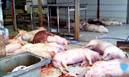 Tổng số 3.750 con heo được xác định bị chích thuốc an thần tại lò mổ Xuyên Á