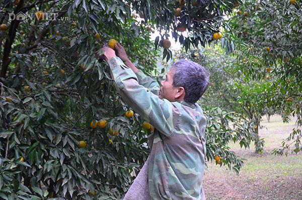 Ông Dương Hữu Đoan bên vườn quýt vàng trĩu quả của gia đình.