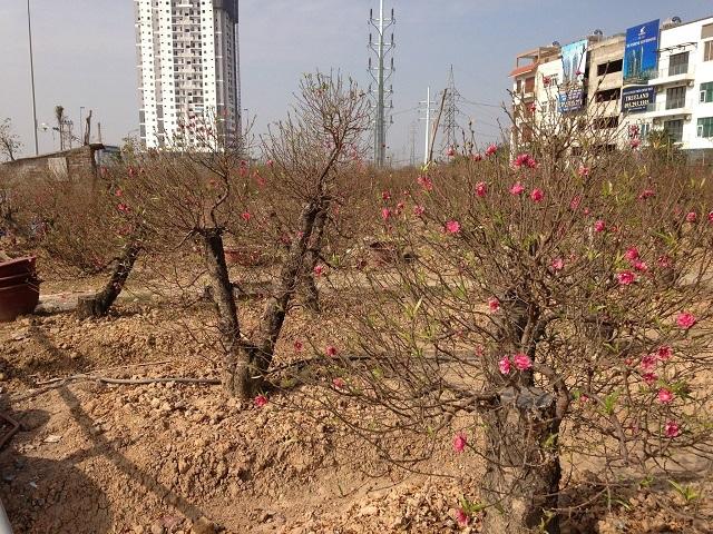 Vườn đào với hàng chục gốc đào cổ thụ có giá cả chục triệu đồng của bà Vân đang đứng trước nguy cơ mất trắng vụ đào Tết.