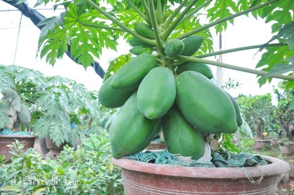 Đu đủ bonsai tán siêu độc tiền triệu hút hàng trước Tết - 2