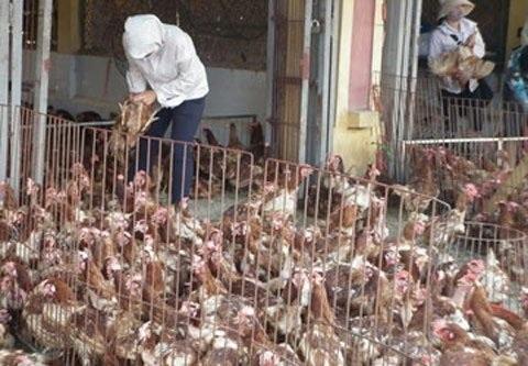 Ăn 80 ngàn tấn gà Trung Quốc thải loại: Ám ảnh dịch bệnh - 2