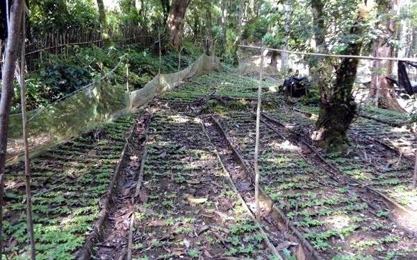 Để bảo vệ sâm khỏi chuột cắn phá người trồng sâm Ngọc Linh dùng lưới bao quanh vườn