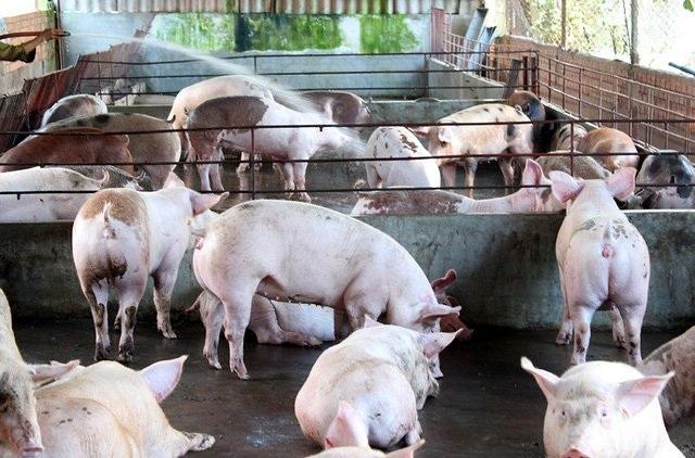 Trung Quốc chưa đồng ý nhập khẩu thịt lợn của Việt Nam.