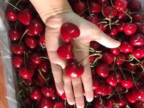 Cherry trồng tại Sơn Đông-Trung Quốc đẹp mã như cherry ngoài hàng nhập khẩu.
