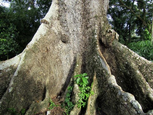 Gốc của cây bàng 700 tuổi.