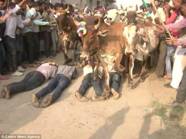 Nhiều người tự nguyện nằm xuống đất để hàng trăm con bò dẫm