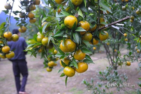 Vườn quýt vàng trĩu quả, căng mọng đep mắt của nhà ông Dương Hữu Đoan