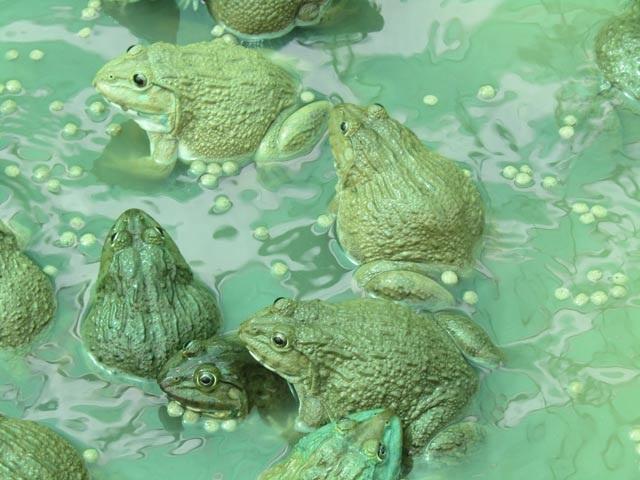 Theo anh Trạng, với cách nuôi kép ếch và cá trê lai vàng, nông dân có thể tối đa lợi nhuận. Ảnh: Phan Thị Anh Thư.