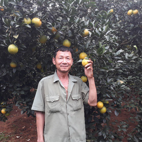 Vườn cam rộng 1ha của ông Thành hiện đã bước sang tuổi thứ 8, năng suất đạt khoảng 70 tấn/vụ.